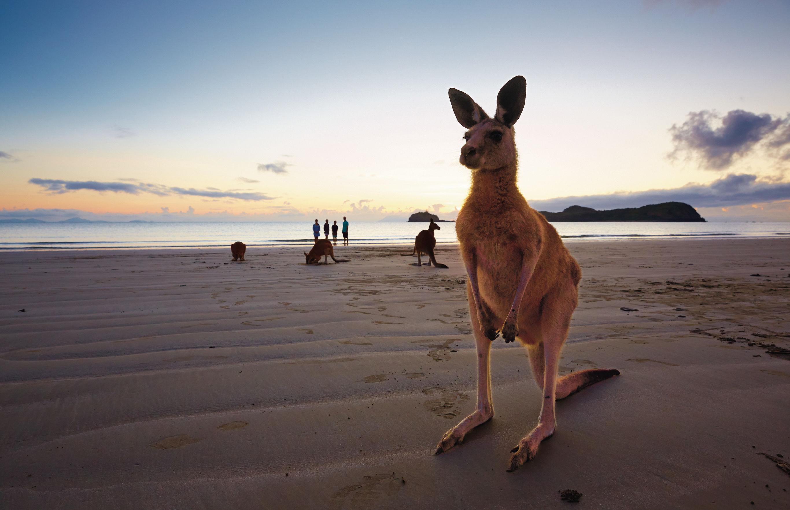 Australie-Whitsunday-Kangoeroe Australië